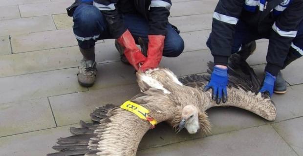 Kahramanmaraş'ta nesli tükenmekte olan kızıl akbaba bulundu