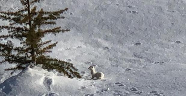 Nesli tükenen beyaz gelincik Bitlis'te görüntülendi