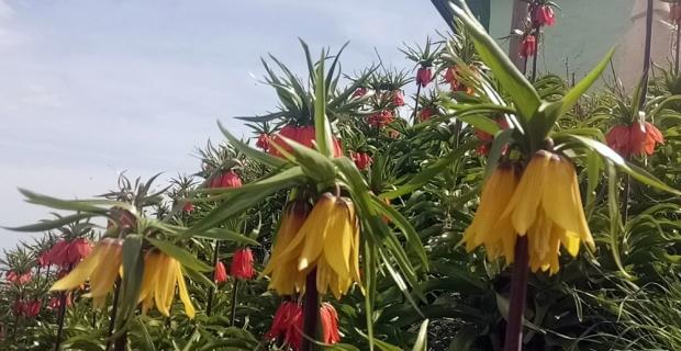 Van'da 'hüzün çiçeği' ters laleler açtı
