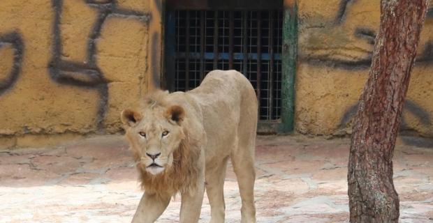 Cumhurbaşkanı Erdoğan'ın aslanlarına yoğun ilgi