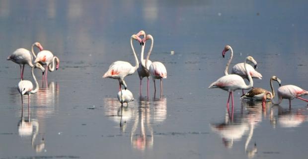 Flamingolar kışı geçirmek için Hersek'e geldi
