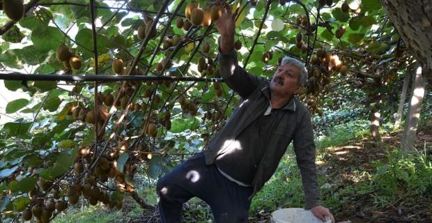 İnatçı Karadenizli yamaçta kivi bahçesi kurdu
