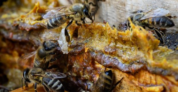 Doğadan gelen enfeksiyon savarlar: Bal ve propolis