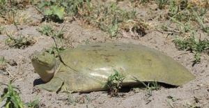 Nesli tükenmek üzere olan Fırat kaplumbağası bulundu