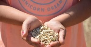 Siyez buğdayında hasat sevinci