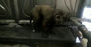 Zifte yapışan yavru köpekleri Mehmetçik kurtardı
