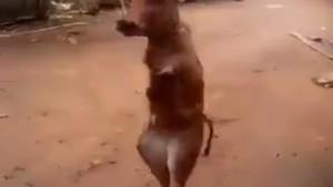 Bu dana arka ayakları üzerinde yürüyor