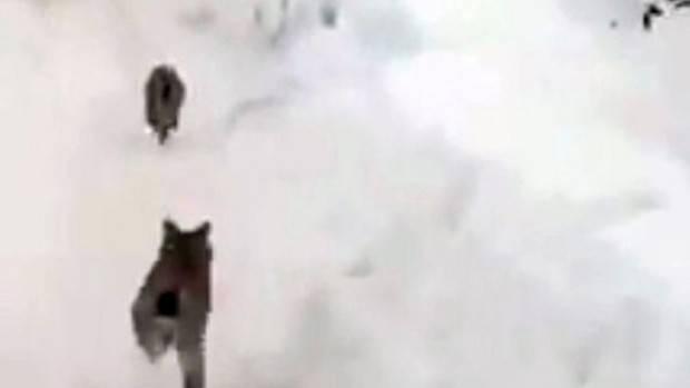 Elazığ'da 'kırmızı liste'deki vaşaklar görüntülendi