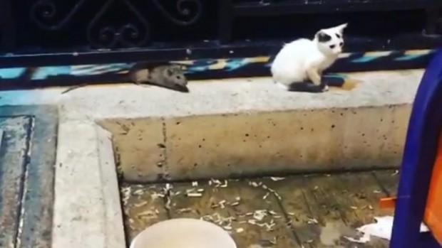 Kabadayı fare kedileri böyle kaçırdı