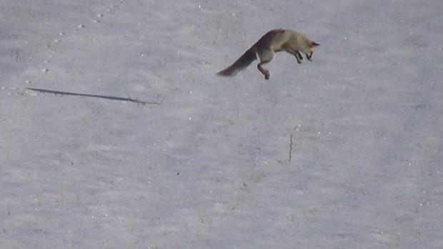 Tilkilerin fare avı böyle görüntülendi