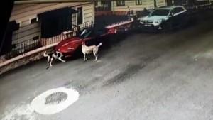 Köpeker lüks otomobili böyle parçaladı