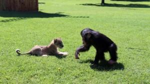 Şempanze Can'a 'aslan' arkadaş
